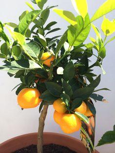 Mandarinene våre