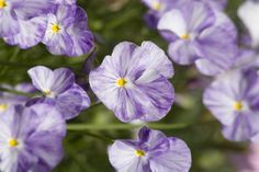 Growing Pansies - Cool Weather Favorites
