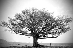 fig tree black and white - Google Search