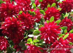 Berry coloured Aster flowers.