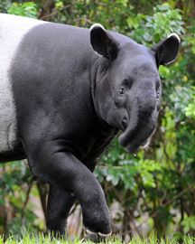 Malayan Tapir - wildlife animals, conservation, adaptation and ...