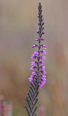 Heather flower spike - by Dr Steven Murray Heather Plant, Heather Flower, Wild Flowers, Beautiful Flowers, Autumn Flowers, Mother Nature Tattoos, Tattoo Nature, Scottish Heather, Line Flower