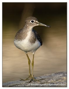 Solitary Sandpiper (Tringa solitaria) is a small wader (shorebird). It breeds in woodlands across Alaska and Canada. It is a migratory bird, wintering in Central and South America, especially in the Amazon River basin, and the Caribbean.