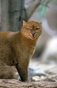 Jaguarundi aka Otter Cat, medium size wild cat native to south and central America, and a few have been spotted in Florida, Texas, and other southern states.
