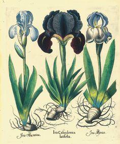 Selection Botanical Tables Besler