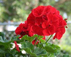 Beautiful Red Geranium