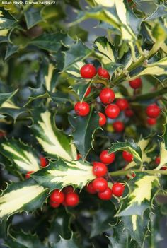 Holly 'Northern Lights'