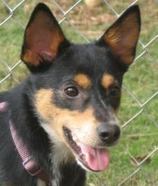 ... russell on Pinterest   Terriers, Russell terrier and German shepherds