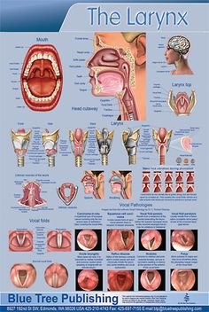 Poster about the larynx - it's function and position in the voice production system.
