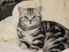 British Shorthair Slideshow - Veterinary Specialists of Central NY