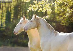 "theclassicalhorse: "" Homer & Hermes, young lusitano stallions. Quinta Lusitano, Germany Ekaterina Druz Horse Photography """
