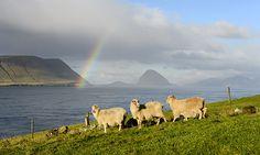 Google Image Result for http://news.bbcimg.co.uk/media/images/64276000/jpg/_64276716_faroe_sheep_g.jpg
