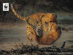 Deze foto van vechtende luipaarden van fotograaf Richard du Toit is een van de adembenemende beelden in het WNF-fotoboek 'Ontembare Natuur'.