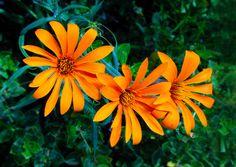 Mutisias, Flora de Neuquén