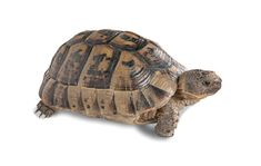 Spur thighed Greek Tortoise for sale