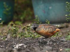 棕三趾鶉  Barred Buttonquail (Turnix suscitator rostrata) ※特有亞種/留鳥, photo by 櫻桃