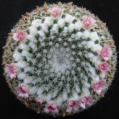 Cactus Y Suculentas, Cacti And Succulents, Pin Cushions, Floral Wreath, Surat Thani, Miniature, Bloom, Vida Real, Green Houses