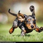 Tri color dapple dachshund puppy