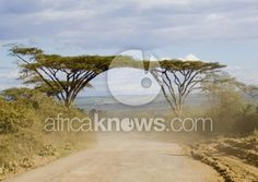 Acacia Covered Road - Landscapes - Nature - African Stock Photography: Search Royalty Free Images and Photos from Africa | Africa Knows