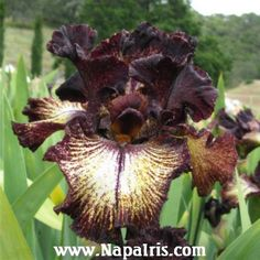 Iris 'Sorbonne' napa iris 38 ML