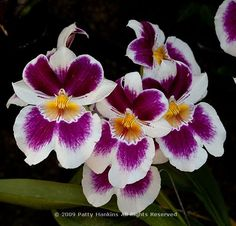 Orchids are expensive, elegant, dainty, and rare. There are over 800 types of orchids, and they can be found pretty much everywhere in the world. Beautiful Flowers Pictures, Flower Pictures, Miltonia Orchid, Types Of Orchids, Orchidaceae, Exotic Flowers, Orchid Flowers, Floral Photography, Flower Quotes
