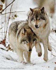 Sickening, Idaho Wolf Derby will go on as scheduled. So sad