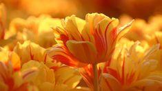 Creative Beautiful Modern Canvas Wall Art - Beautiful Orange Tulips Flowers Canvas Print x Inch - Stretched. Tulips Flowers, Orange Flowers, Pretty Flowers, Planting Flowers, Yellow Tulips, Parrot Tulips, Flowers Garden, Orange Yellow, Jaune Orange