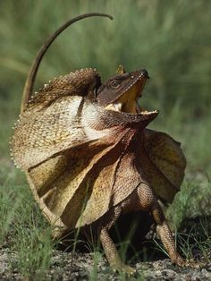 This Australian frilled lizard has displayed its threatening posture...these lizards are unbelievable to watch in action!