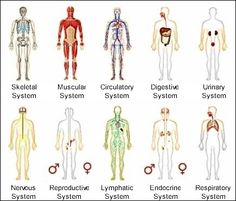 Systems of the human body #infografía