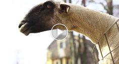 Cabras Têm Comportamentos Estranhos e Gritam Como Os Humanos