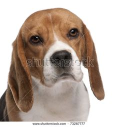 stock-photo-close-up-of-beagle-year-old-in-front-of-white-background-73267777.jpg (435×470)