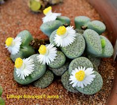 Lithops fulviceps f. aurea.  Photo by K.k. Agrawal