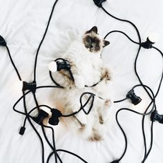 cat tangled in lights