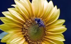 SUNFLOWER WITH BEE....BING IMAGES