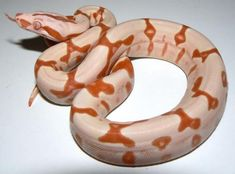 Junglow Method of Inheritance: Simple Recessive (Albino), Co Dominant (Jungle) & Co Dominant (Hypo)    Appearence: Complete absence of any black/dark pigment, red pupils & pink tongue. Very rich colouration & reduced pattern. Very clean, often with pattern aberrancies  A Junglow (AKA Sunglow Jungle) Boa is a designer morph produced by combining the albino, hypo and Jungle genes.