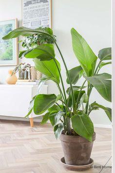 Planten in huis Strelitzia Nicolai trend Green Lifestyle Store ©BintiHome Hanging Plants, Indoor Plants, Vintage Bedroom Decor, Rustic Chic Decor, Tadelakt, Red Rooms, Bedroom Plants, Trendy Home, Garden Spaces