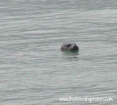 Seal in Skagway Alaska