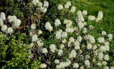 Fothergilla gardenii's spring bouquet in A Garden For All by Kathy Diemer http://agardenforall.com