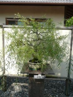 Photo du bonsai : Saule pleureur (Salix Babylonica)