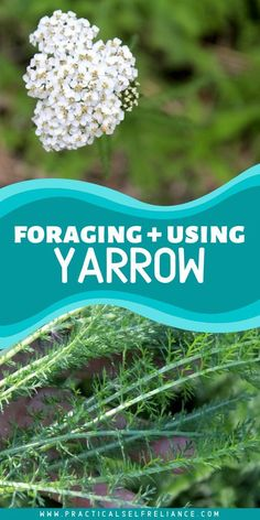 Foraging and Using Yarrow (Achillea millefolium) Natural Remedies For Insomnia, Natural Teething Remedies, Herbal Plants, Medicinal Plants, Herbal Remedies, Cold Remedies, Yarrow Plant, Achillea Millefolium, Exercises