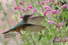 Hummingbirds are great pollinators, indeed often a major source of pollination for a variety of…