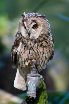 Long-eared Owl by lukerhysparker