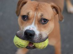 Brooklyn Center ROCKO - A1014578 **SAFER: AVERAGE HOME** MALE, BROWN / WHITE, PIT BULL MIX, 1 yr STRAY - STRAY WAIT, NO HOLD Reason STRAY Intake condition EXAM REQ Intake Date 09/19/2014 Main Thread: https://www.facebook.com/photo.php?fbid=933627776650102