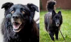 UK: Collie/Belgian Shepherd with orange eyes is 8-yrs-old, formerly of Italy, requests home with savvy guardians and no other pets