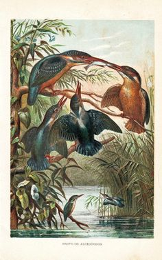 Birds Print Kingfisher Chromolithograph Antique by CarambasVintage, $16.00
