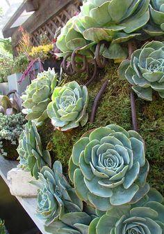 succulent planter - Echeveria