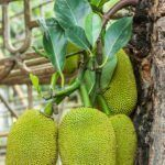 You may have seen a large, spiny fruit in the produce section of a local Asian or specialty grocer and wondered what it could be. It's a jackfruit. What is a jackfruit? Read here to learn about this exotic fruit. What Is A Jackfruit, Jackfruit Plant, Jackfruit Tree, Jackfruit Seeds, Meat Substitutes, Exotic Fruit, Plant Care, Fruit Trees, Permaculture
