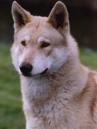 Perro Lobo De Saarlos - Saarlos Wolfdog - Chien - Loup de Sarrlos - Saarlos Wolfhund - Saarlos Wolfhond - Raza neerlandesa. El perro lobo de Saarlos es un perro potente, lupoide, de pelo duro y recto (cerda). Su osamenta oval es potente, pero no puede ser pesada. Tiene largas patas, sin que por ello dé la impresión de ser alto.