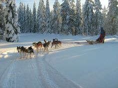 Sleddog Safari: Finlad Zilivonkkelis, Suomussalmi. In winter our main product is organizing safari sled rides of various lengths, from rides of a few kilometers to 2-3 day safaris. www.zilivonkkelis.net