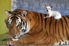 Tiger & Chihuahua